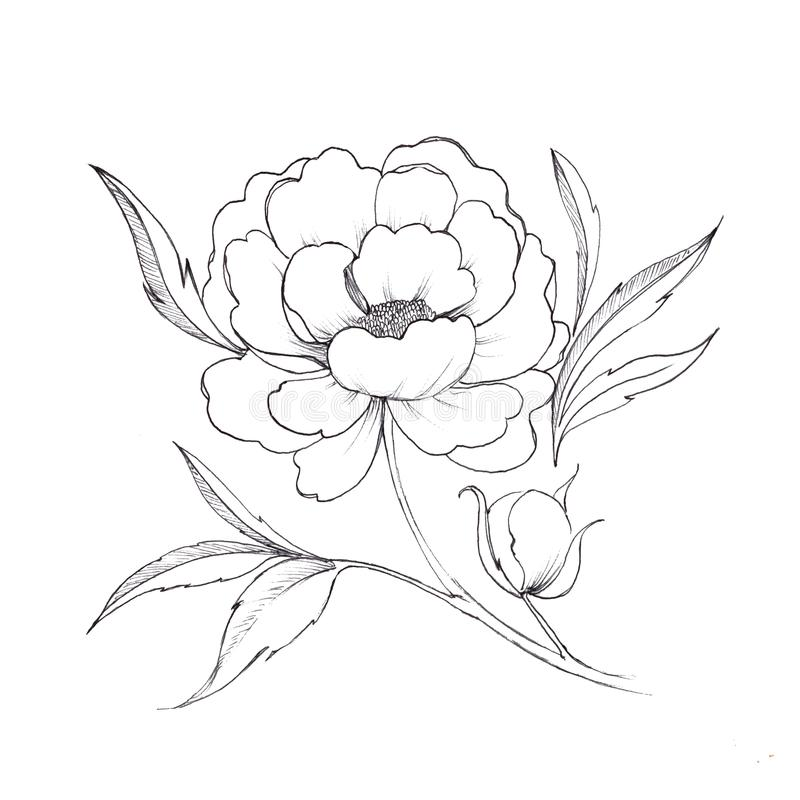 Peony. Black and white ink sketch. Flower. Peony. Black and white ink sketch stock illustration