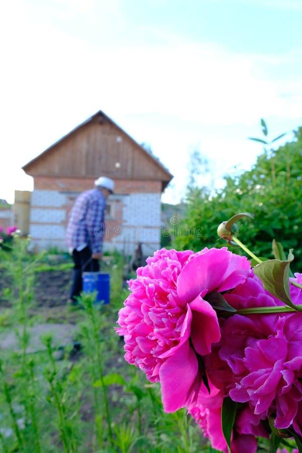 Flower peony bright pink stock image