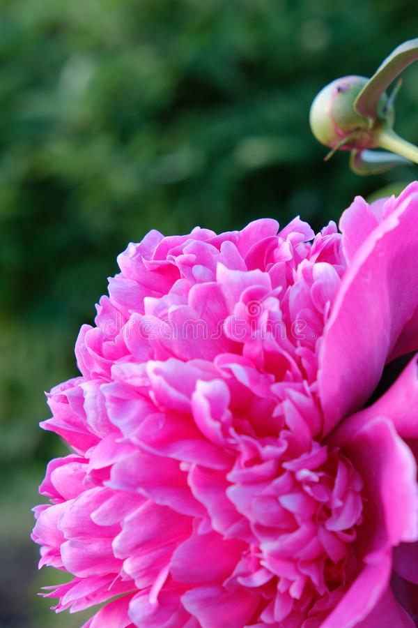 Flower peony bright pink royalty free stock image