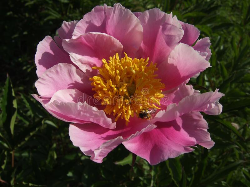 Flower, Peony, Plant, Flowering Plant Free Public Domain Cc0 Image