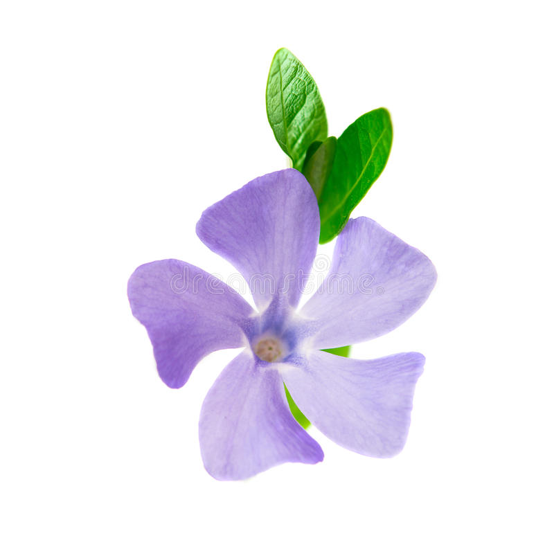 Flower Periwinkle Isolated Stock Images