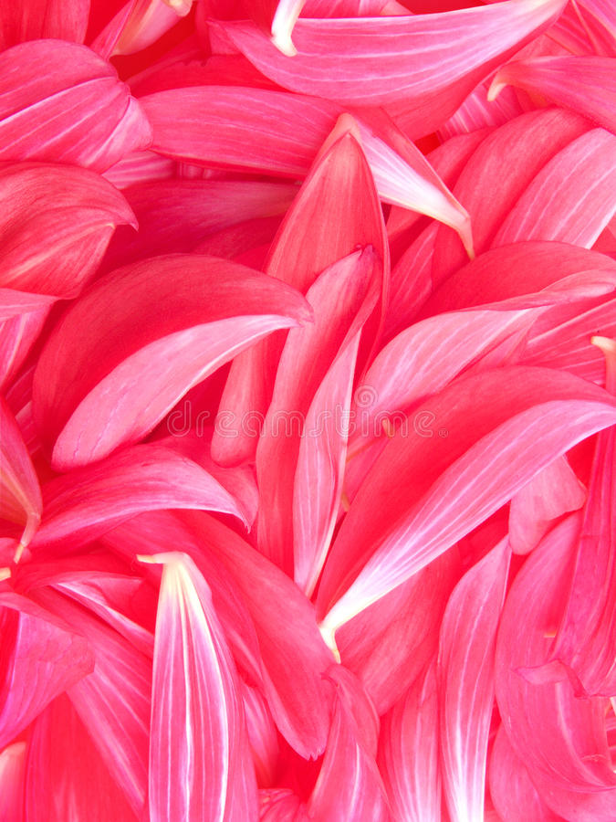 Flower petals peony royalty free stock photography