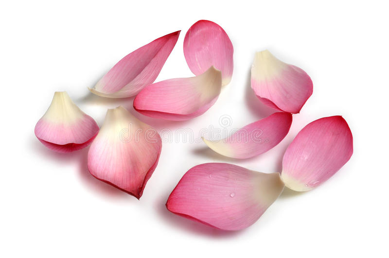 Flower petals. Real lotus flower petals with isolated background