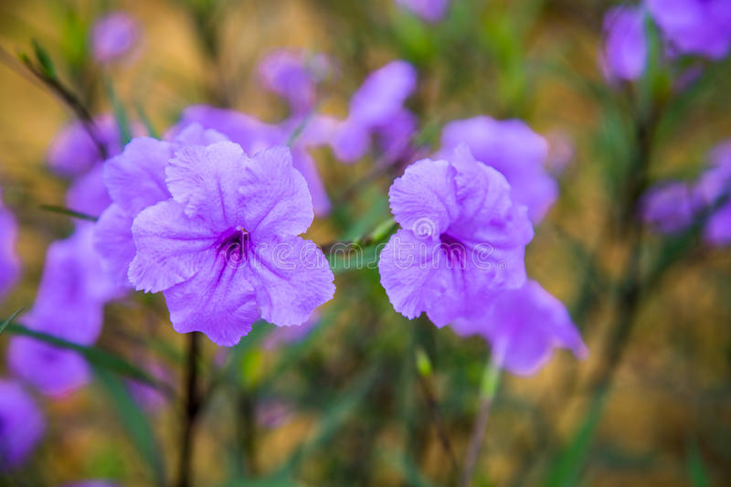 Flower petunia blooming in the garden royalty free stock images