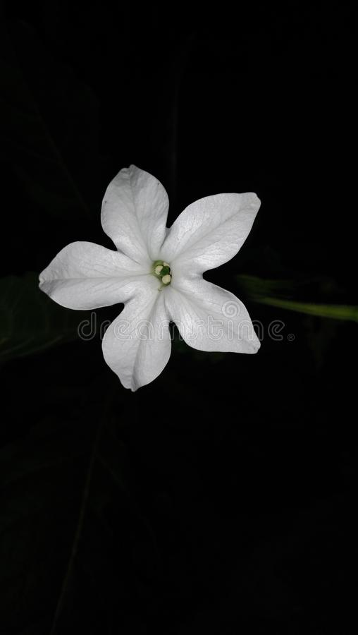 Flower photographed at night. Flowers, whiteflower, flowerswhite royalty free stock photos