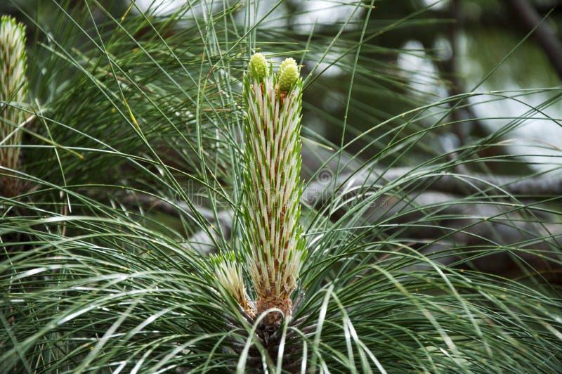 Pine tree flower royalty free stock photos