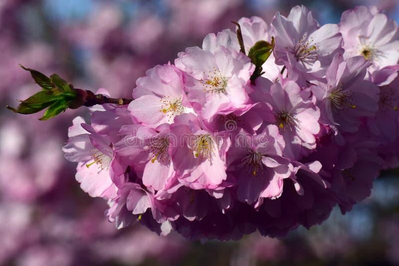Flower, Pink, Blossom, Cherry Blossom stock photography