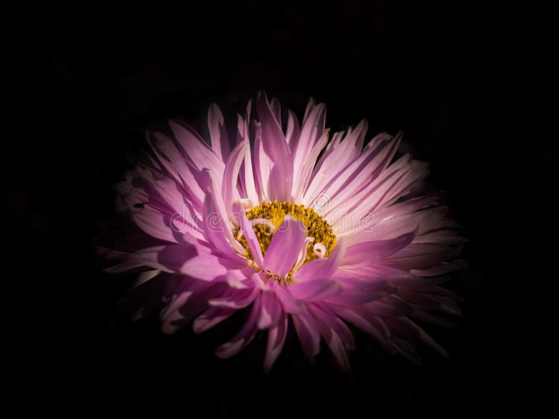 Flower of pink China aster. Flower of pink China aster on a black background royalty free stock photos