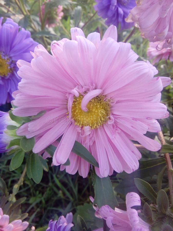Flower pink daisy garden nature violet royalty free stock photos
