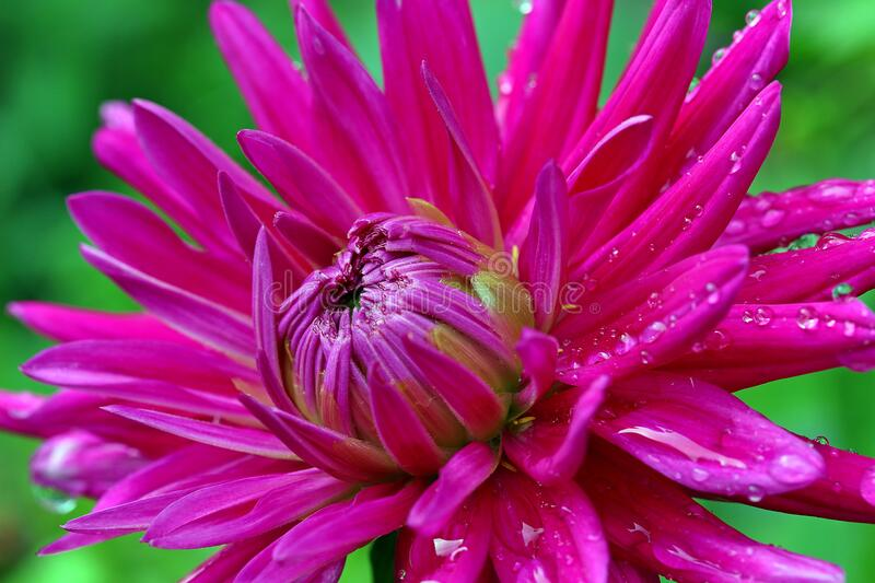 Flower, Pink, Flora, Plant stock images