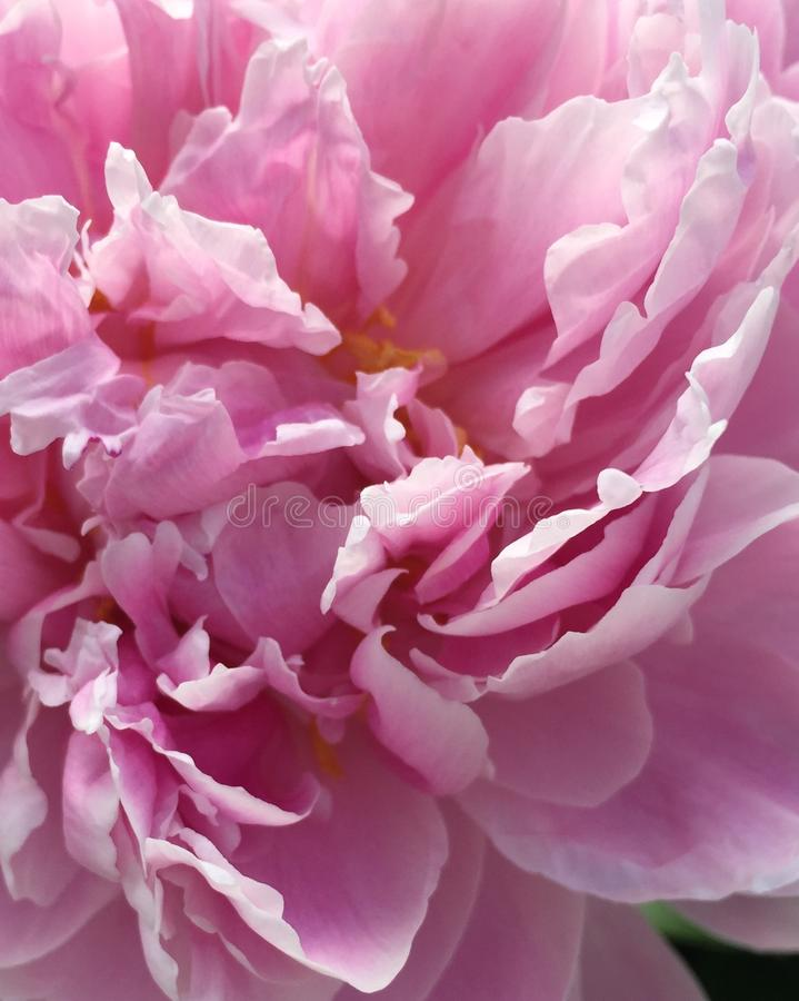 Flower, Pink, Flowering Plant, Peony stock photography