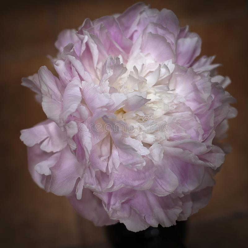 Flower, Pink, Flowering Plant, Peony royalty free stock photo