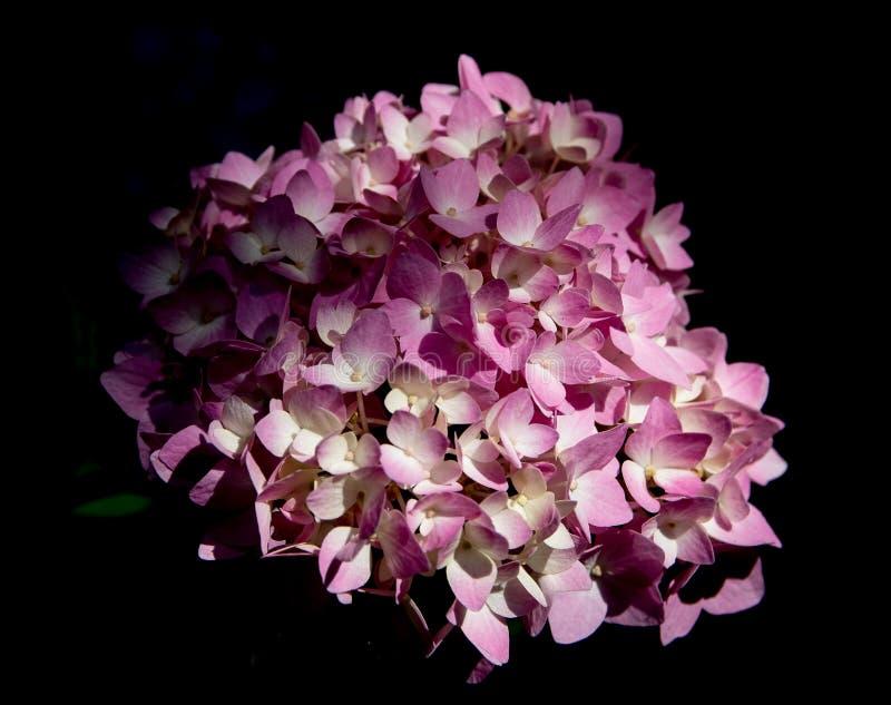 Flower, Pink, Flowering Plant, Purple Free Public Domain Cc0 Image
