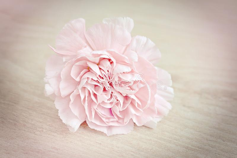 Flower, Pink, Flowering Plant, Rose Family royalty free stock image