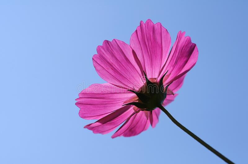 Flower, Pink, Garden Cosmos, Flowering Plant royalty free stock photo
