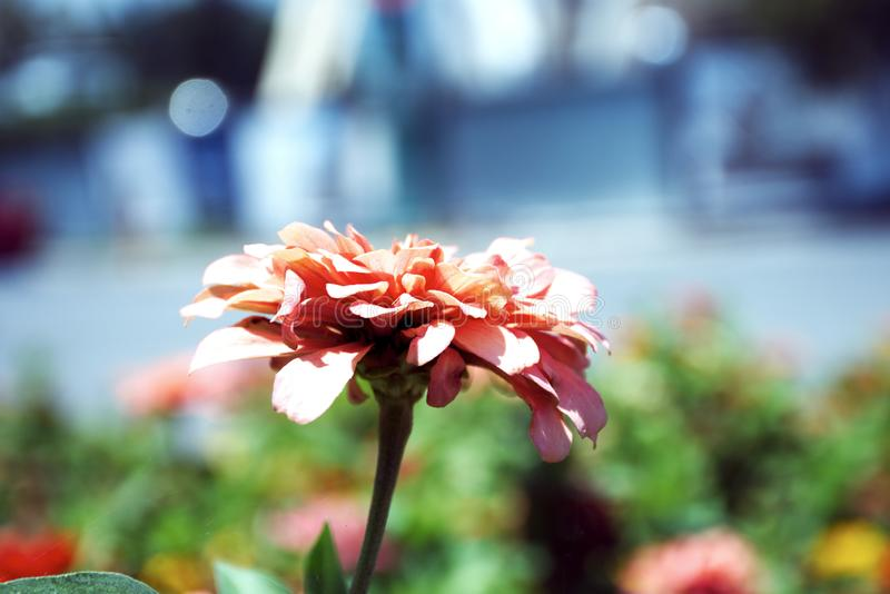 Flower in pink hues stock photo