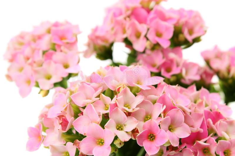 Flower pink, isolated. stock photo