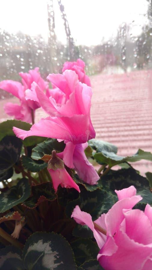 Flower pink nature macro royalty free stock photo