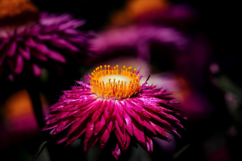 Flower, Pink, Nectar, Flora royalty free stock images