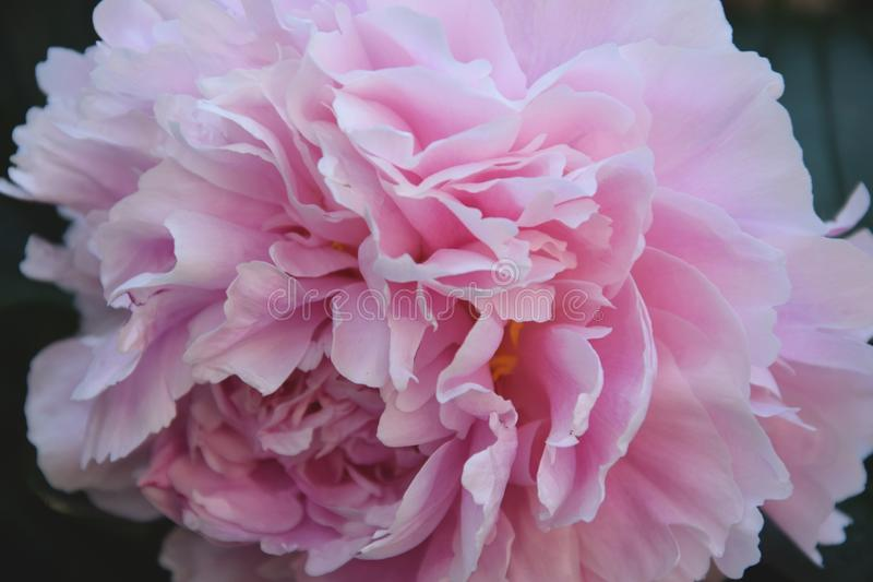 Flower, Pink, Peony, Plant royalty free stock photography