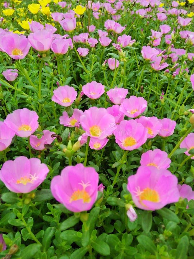 Flower pink royalty free stock image