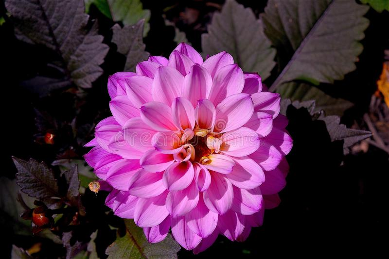Flower, Pink, Plant, Flowering Plant Free Public Domain Cc0 Image