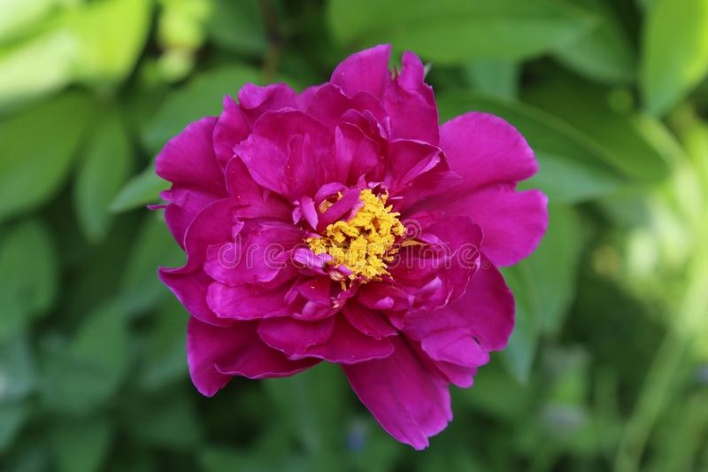 Flower, Pink, Plant, Peony royalty free stock images