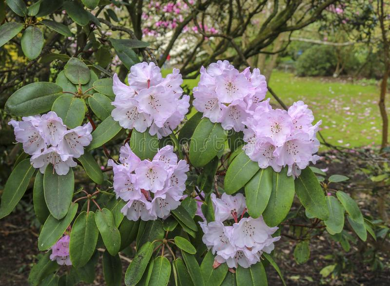 Flower Pink Rhododendron. Flower, petal. Flower Pink Rhododendron. Bush, grow royalty free stock image