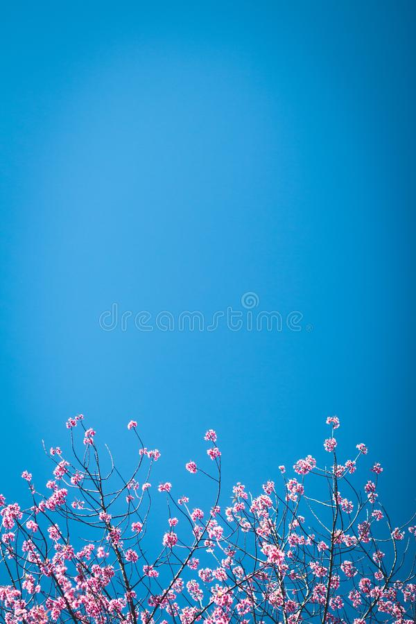 Flower pink spring blossom prunus royalty free stock photography