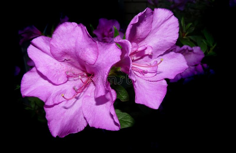 Flower, Pink, Violet, Purple royalty free stock photo