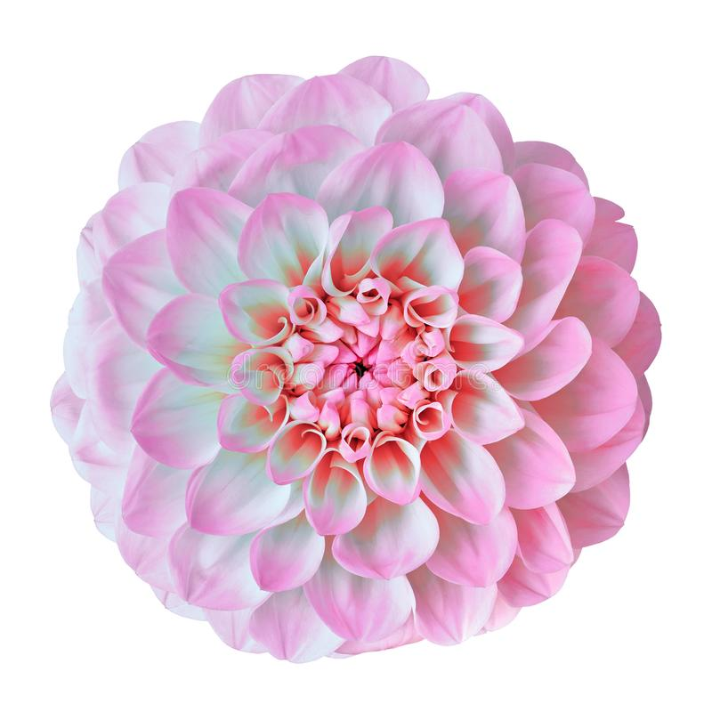 Flower pink white dahlia isolated on white background. Close-up. Element of design. Nature royalty free stock photos