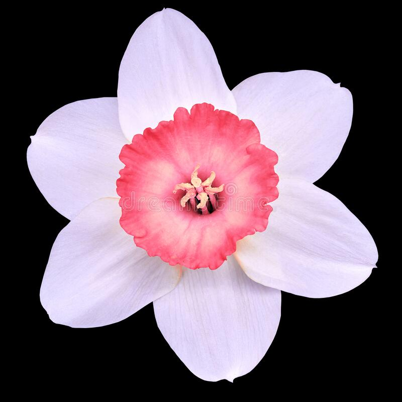 Flower pink white narcissus,  isolated on a black  background with clipping path. Close-up. royalty free stock photos