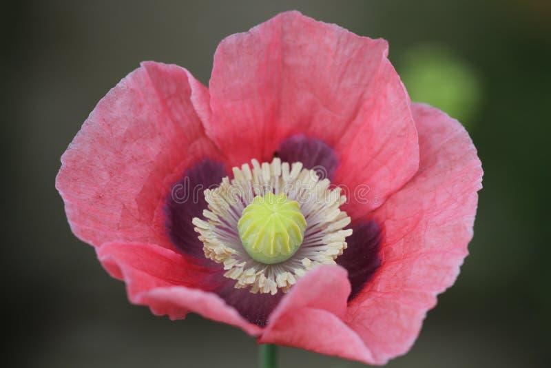 Flower, Pink, Wildflower, Flowering Plant Free Public Domain Cc0 Image