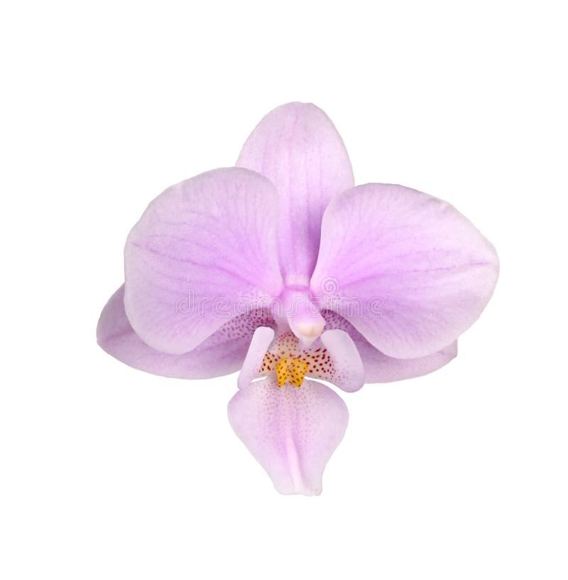 Flower of a pink and yellow Phalaenopsis orchid isolated royalty free stock images