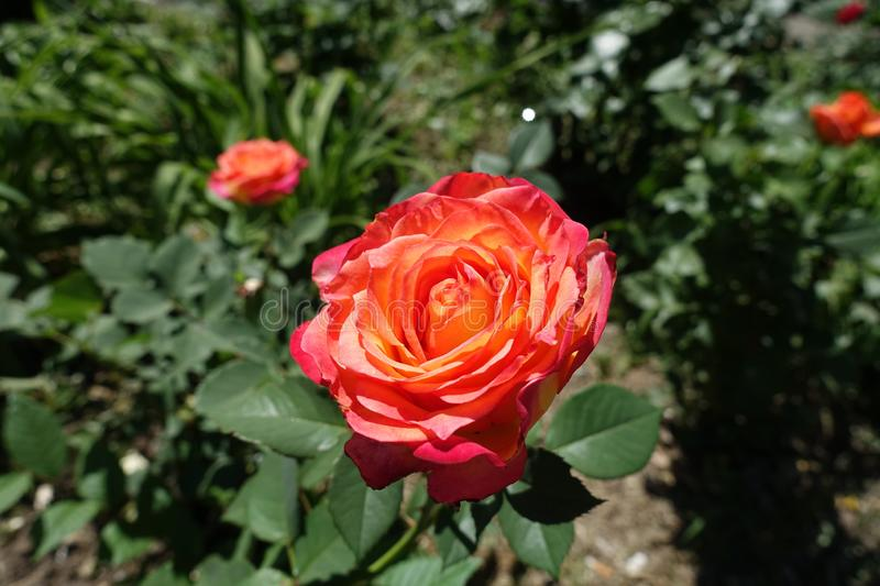 Flower of pink and yellow rose. Cultivar royalty free stock photos