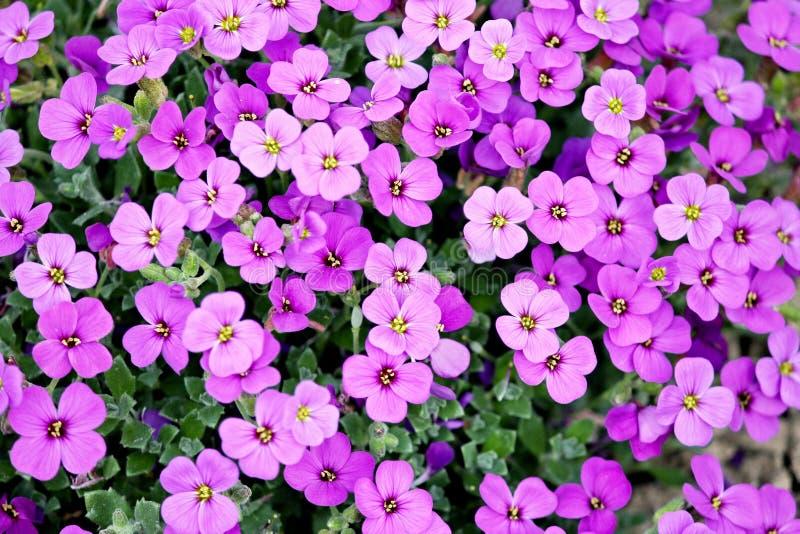 Flower, Plant, Aubretia, Pink royalty free stock photos