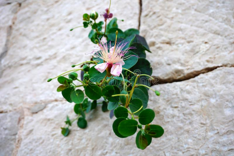 Flower and plant of Capparis spinosa or capers, mediterranean herb on the stone wall. Close up view of flower and plant of Capparis spinosa or capers stock photos