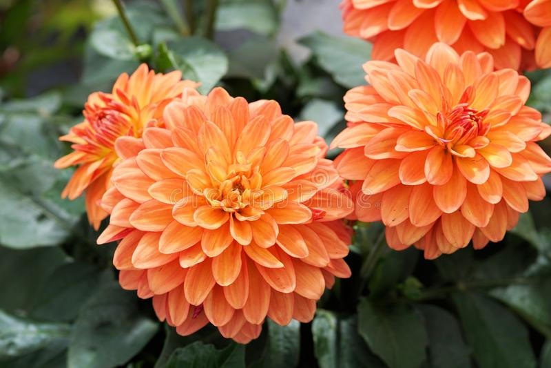 Flower, Plant, Dahlia, Flowering Plant Free Public Domain Cc0 Image