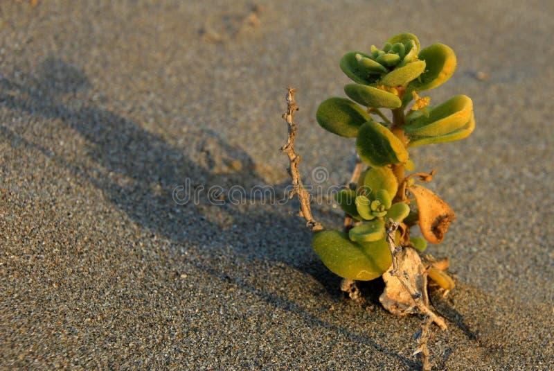 Flower plant in the desert, National Park Llanos De Challe, Atacama, Chile. Sout America stock photo