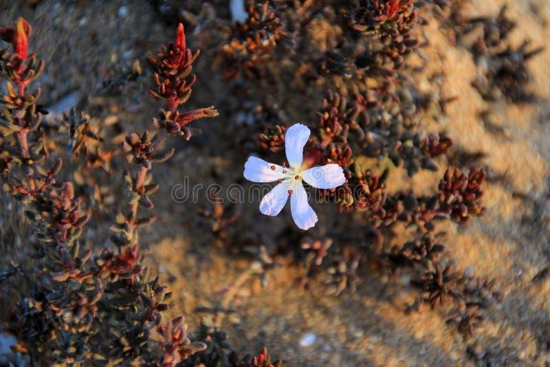 Flower plant in the desert, National Park Llanos De Challe, Atacama, Chile. Sout America stock photography