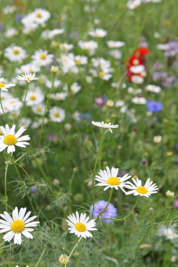 Flower, Plant, Flora, Chamaemelum Nobile Free Public Domain Cc0 Image