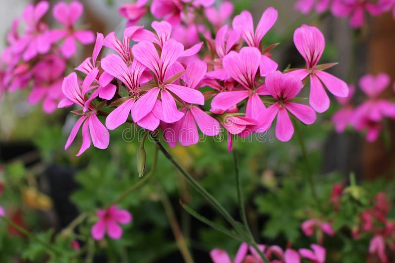 Flower, Plant, Flora, Pink stock image