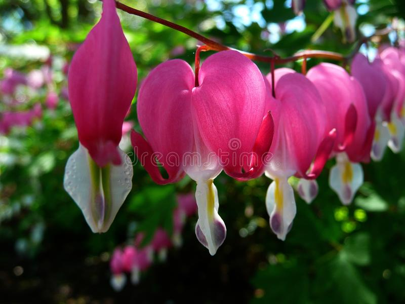 Flower, Plant, Flora, Pink royalty free stock image