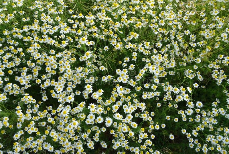 Flower, Plant, Flora, Tanacetum Parthenium Free Public Domain Cc0 Image