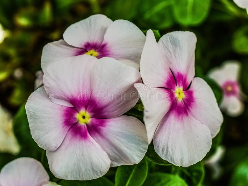 Flower, Plant, Flowering Plant, Pansy royalty free stock images