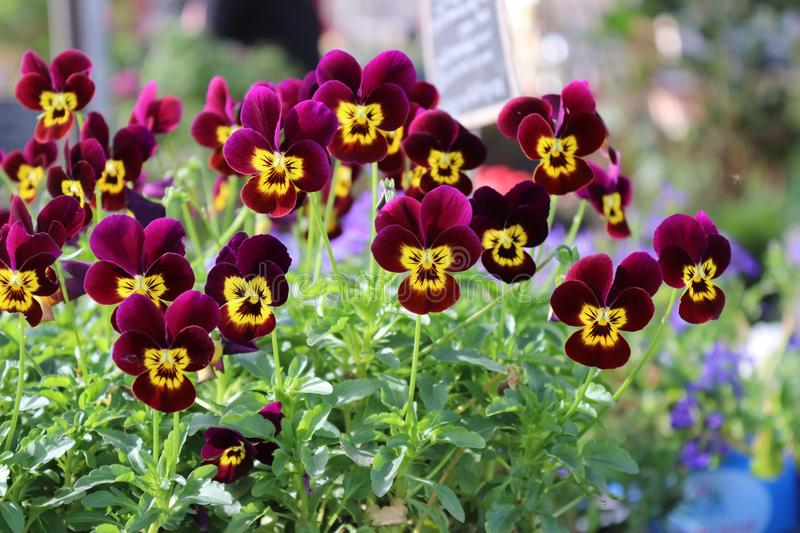 Flower, Plant, Flowering Plant, Pansy stock photos