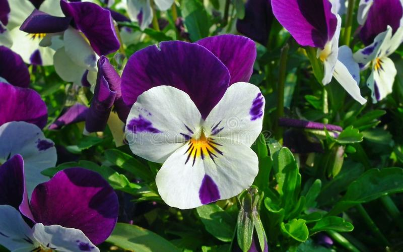 Flower, Plant, Flowering Plant, Pansy stock image