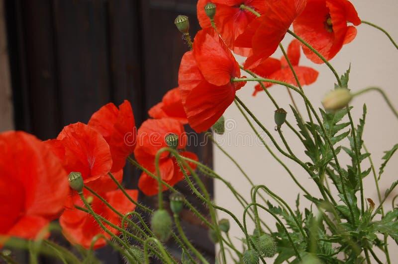 Flower, Plant, Flowering Plant, Poppy Free Public Domain Cc0 Image