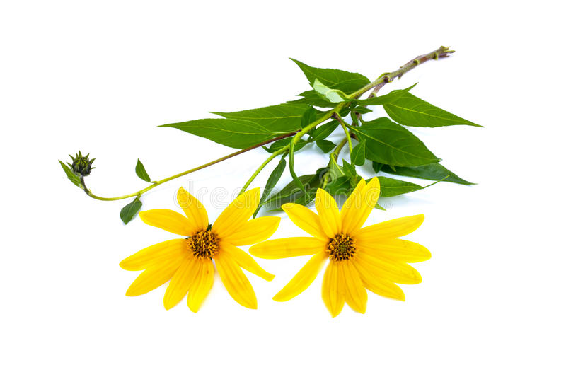 A flower of plant is Jerusalem artichoke or earth apple or topinambour. Yellow flowers of garden plant the Jerusalem artichoke is isolated on a white background royalty free stock photography