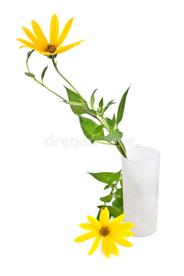 A flower of plant is Jerusalem artichoke or earth apple or topinambour. Yellow flowers of garden plant the Jerusalem artichoke is isolated on a white background stock photography